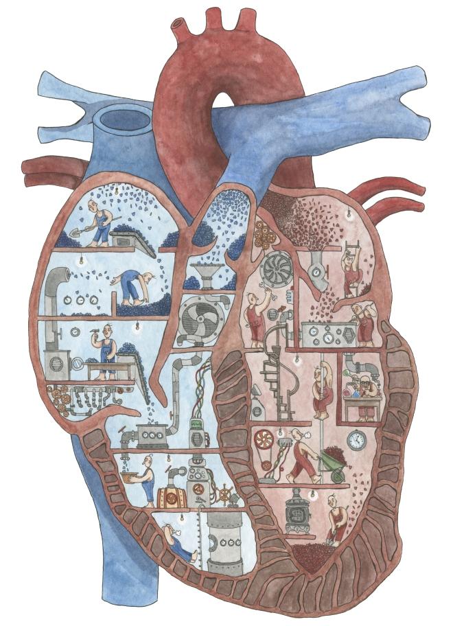 cuore sezionato standard